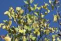 Cercis reniformis Oklahoma 4zz.jpg