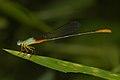 Ceriagrion cerinorubellum male at Kadavoor.jpg
