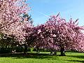 Cerisiers en fleurs au parc de Sceaux.JPG