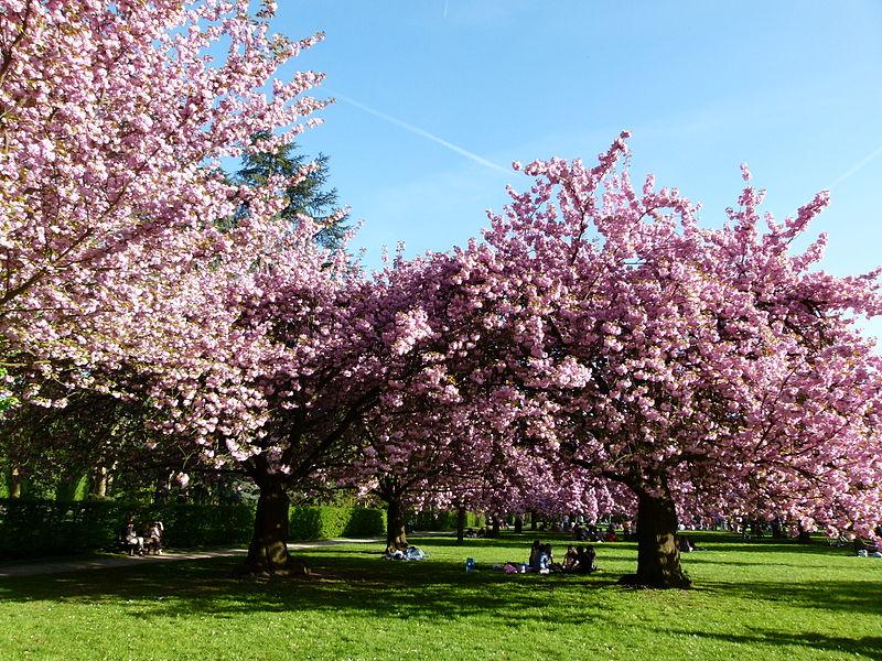 File cerisiers en fleurs au parc de sceaux jpg wikimedia commons - Parc de sceaux cerisiers en fleurs 2017 ...