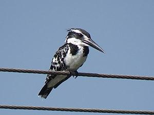 Ceryle rudis ,Pied Kingfisher.jpg