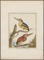 Ceyx tridactyla - 1700-1880 - Print - Iconographia Zoologica - Special Collections University of Amsterdam - UBA01 IZ16800097.tif