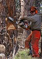 Chainsaw cutting tree.jpg