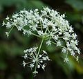 Chamnamul flower (Pimpinella brachycarpa).jpg