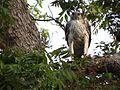 Changeable Howk Eagle - Nisaetus cirrhatus DSC01362.jpg
