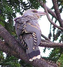 Channel Billed Cuckoo Wikipedia
