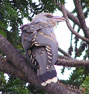 Channel-billed cuckoo - A juvenile, displaying the pale tipped feathers on the wings. In adults the tips are dark.