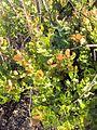 Chapman Oak (2969123599).jpg