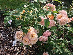 Rosa 'Charles Austin' - Image: Charles Austin