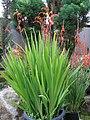 Chasmanthe bicolor1.jpg