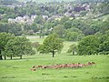 Chatsworth Park Red Deer - geograph.org.uk - 872784.jpg