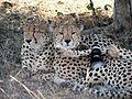 Cheetahs in Masai Mara.jpg