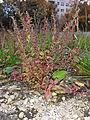 Chenopodium polyspermum sl1.jpg