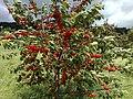 Cherries (638852880).jpg