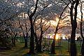 Cherry blossoms 0023 - Washington DC - 2014-04-10 (13783696224).jpg