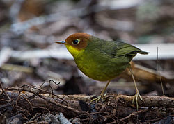 Chestnut-headed Tesia - Jason Thompson.jpg