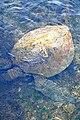 Chile-02813 - Sea Turtle (49072261198).jpg