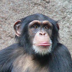 Šimpanz učenlivý (Pan troglodytes) typickýzástupceopic
