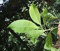 Chionanthus ramiflorus 29.jpg