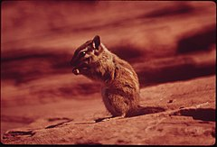 Chipmunk at Campground of Dead Horse Point State Park, 05-1972 (3814961344).jpg