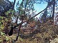 Chir pine trees felled by fire 2.jpg