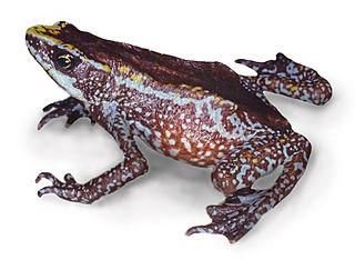 <i>Atelopus chiriquiensis</i>