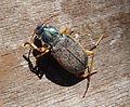 Chlaenius species. Carabidae probably C. velutinus - Flickr - gailhampshire.jpg