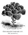 Chou extra-frisé demi-nain vert Vilmorin-Andrieux 1904.png