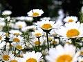 Chrysanthemum paludosum.jpg