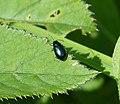 Chrysomelidae ? (35574832676).jpg