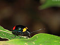 Chrysomelidae from a Papuan montain rainforest - macro - (5432460347).jpg