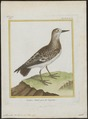 Cinclus interpres - 1700-1880 - Print - Iconographia Zoologica - Special Collections University of Amsterdam - UBA01 IZ17300039.tif