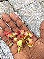 Cinnamomum verum, Cinnamon, Karvuva. Leaf 2.jpg