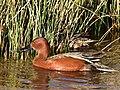 Cinnamon teal at Seedskadee National Wildlife Refuge (41126360125).jpg