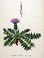 Cirsium acaule — Flora Batava — Volume v20.jpg