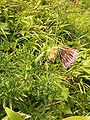 Cirsium nambuense4.JPG