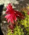 Cleistocactus samaipatanus 2.jpg