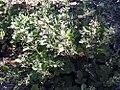 Clematis heracleifolia 0zz.jpg