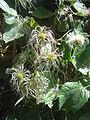 Clematis mauritiana 0586.jpg