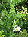 Clematis phlebantha (21379621202).jpg