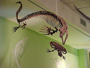 Mosasaurinae - Skeleton of Clidastes liodontus mounted as if pursuing a fossil sea turtle