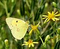 Clouded yellow. Colias crocea - Flickr - gailhampshire.jpg
