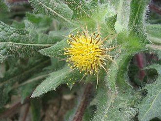 Cnicus - Image: Cnicus benedictus flor