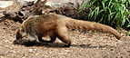 Coati Nasua narica Side 2212px.jpg