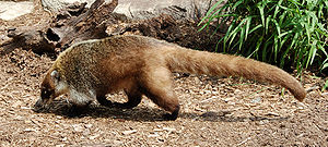 White-nosed coati - Coati in the Philadelphia Zoo