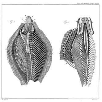 Patrick Russell (herpetologist) - Structure of the cobra hood. William Clift, 1804