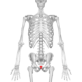 Coccyx - anterior view05.png