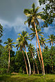 Coconut palms, Eratap, Efate, Vanuatu, April 2008 - Flickr - PhillipC.jpg