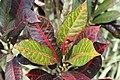 Codiaeum variegatum 60zz.jpg