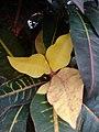 Codiaeum variegatum F1.jpg